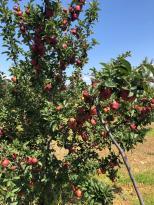 Türk kirazından sonra Türk elmasına Uzakdoğu vizesi